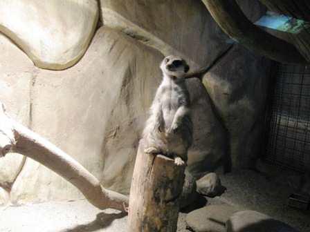 Meerkat Picture